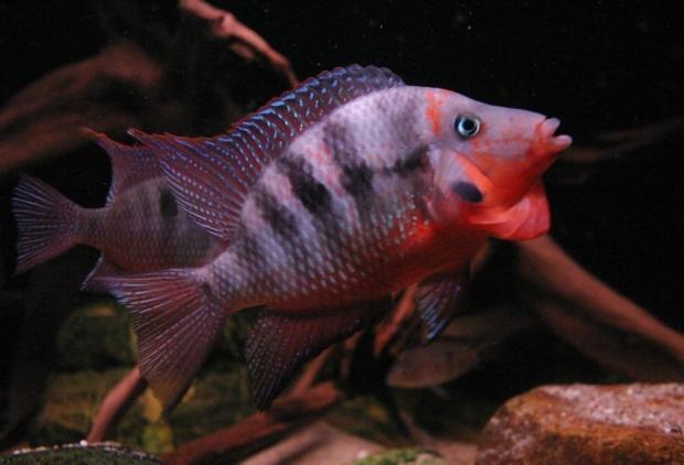 Thorichthys meeki самец