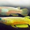 aplocheilus lineatus gold 03