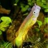 aplocheilus lineatus gold 04