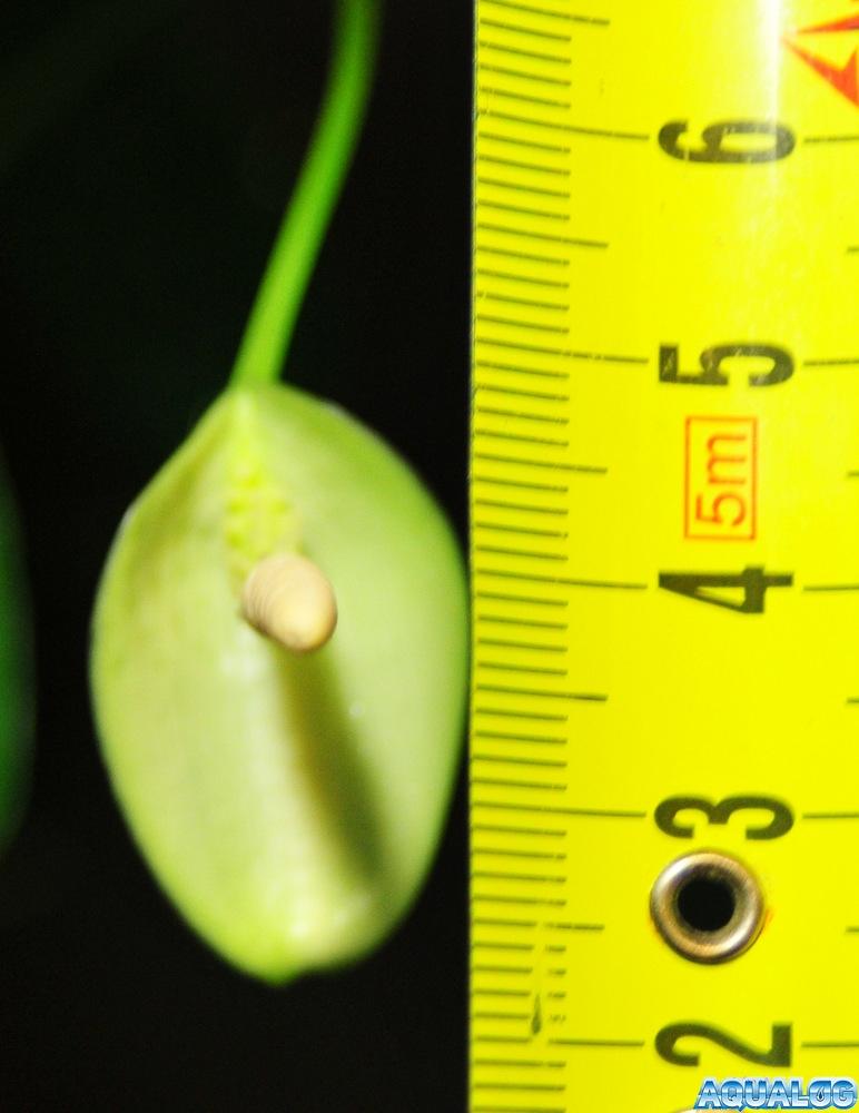Анубиас, размер покрывала цветка