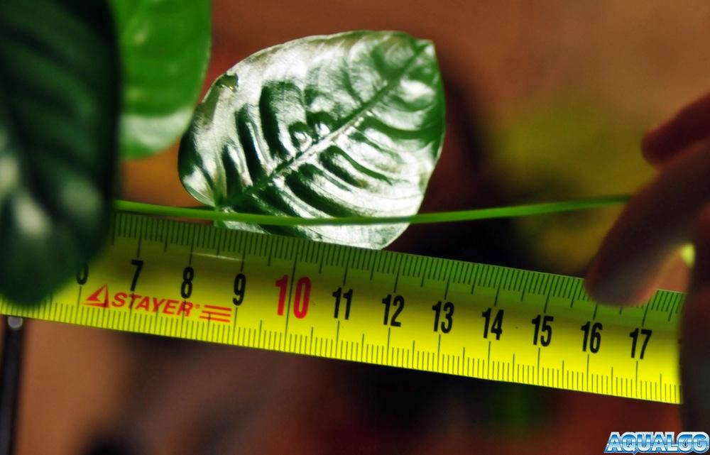 Анубиас, длина цветоножки