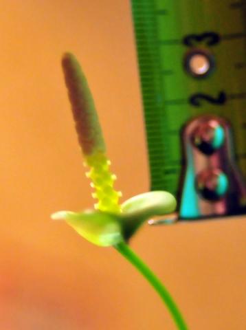 Анубиас, размер цветка