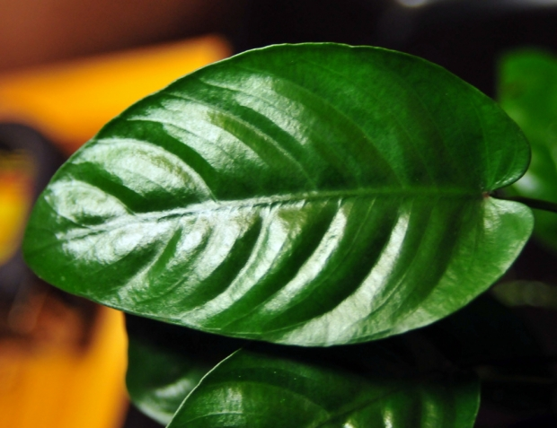 Анубиас, листовая пластина, крупный план