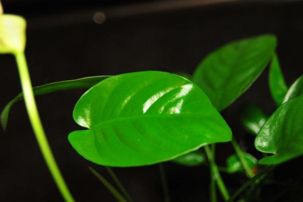 Анубиас, листовая пластина
