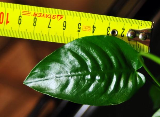 Анубиас, длина листовой пластины