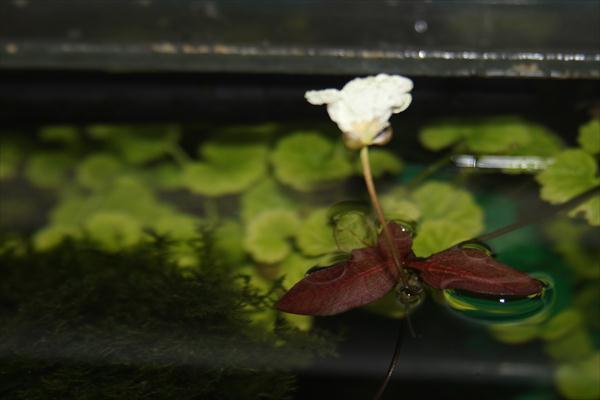 Цветение Эхинодоруса , на подходе Эхинодорус горизонтальный который цвел не так давно с 9-ю цветками