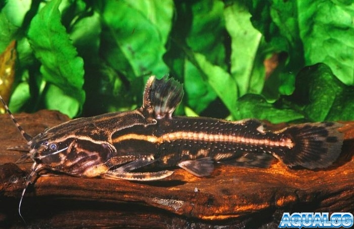 Акантодорас звездчатый (Acanthodoras spinosissimus) или Сомик звездчатый