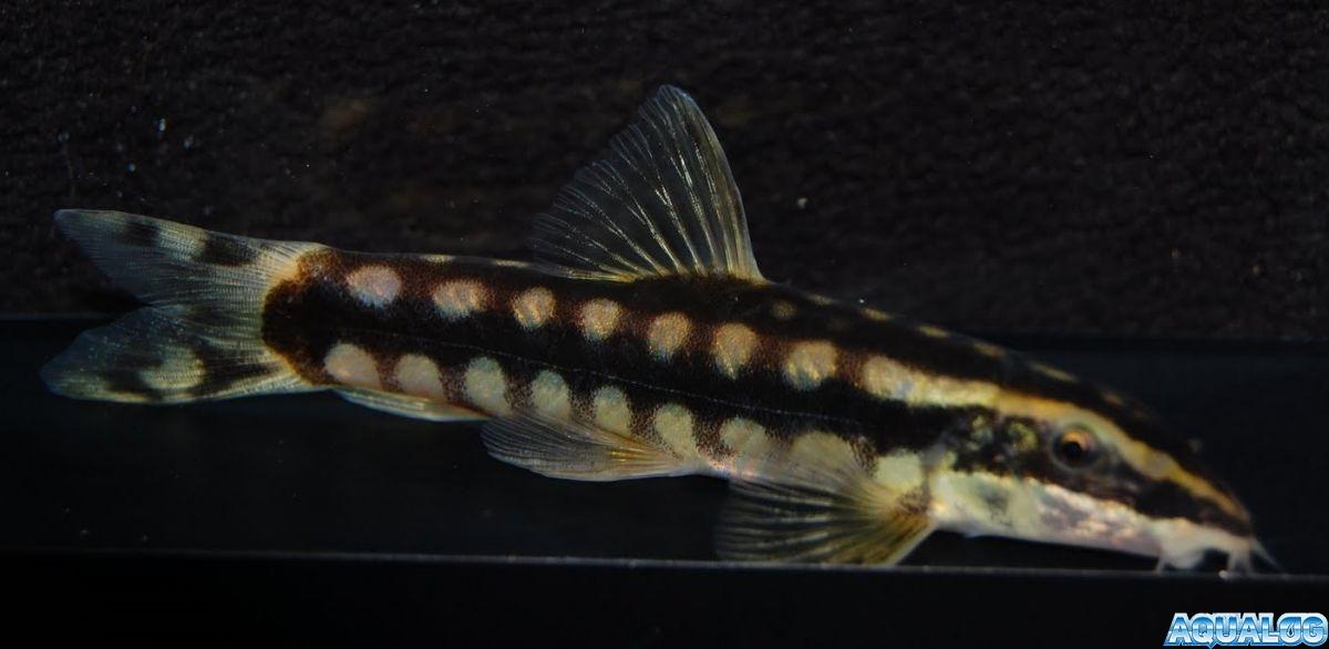 Боция Чернополосая (Yasuhikotakia nigrolineata).