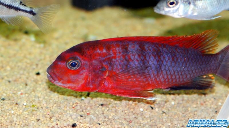 Labidochromis spec. 'Hongi'