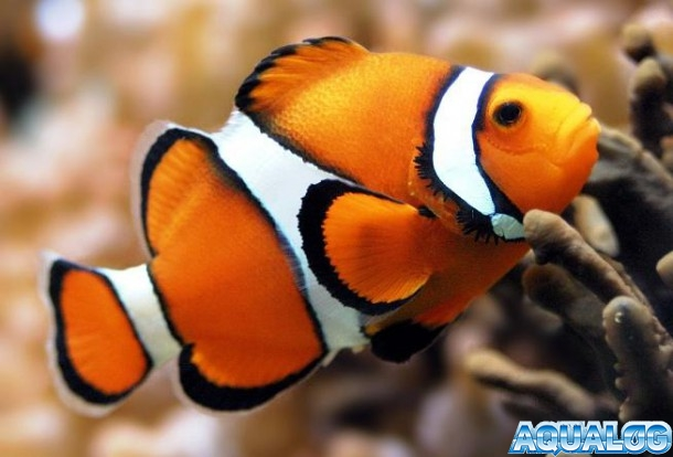 Рыба-клоун аквариумная