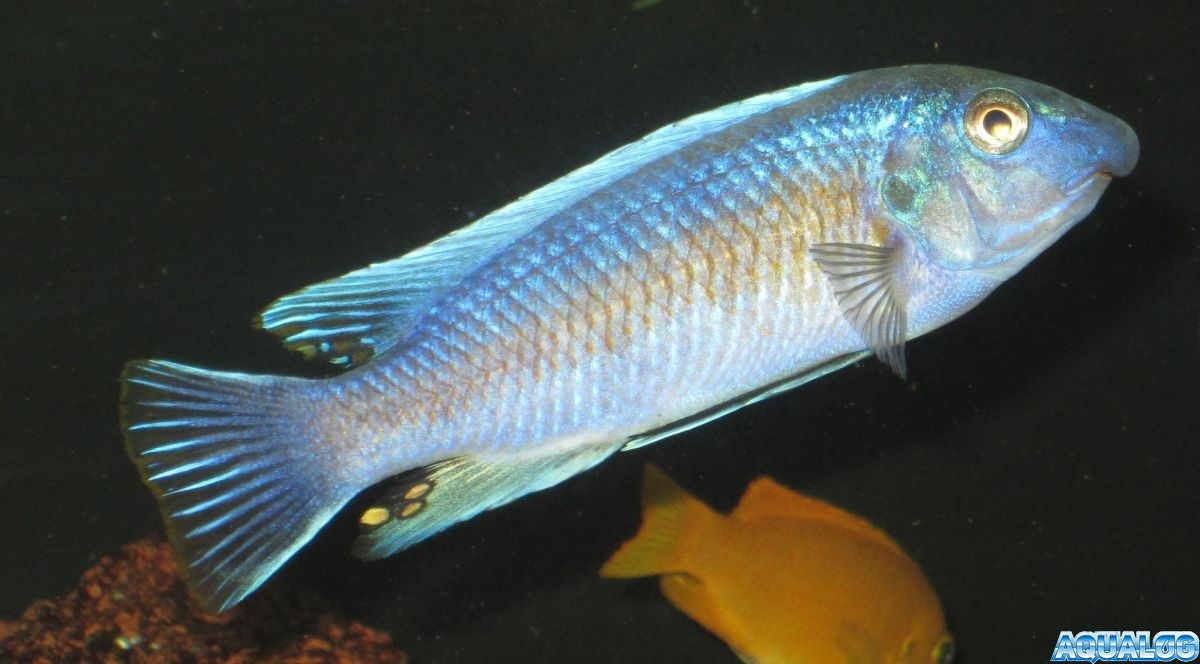 Labeotropheus trewavasae 'Chilumba'