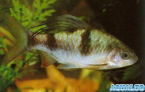 Барбус косицеплавничный или барбус арулиус (Barbus arulius)