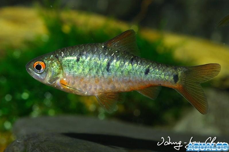 Барбус зеленый (Barbus semifasciolatus, Puntius semifasciolatus)