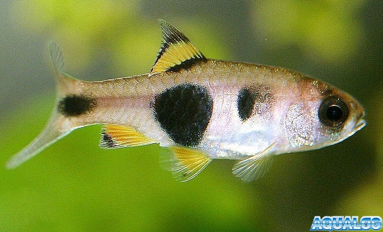 Барбус бабочка или барбус мотылек (Barbus hulstaerti)