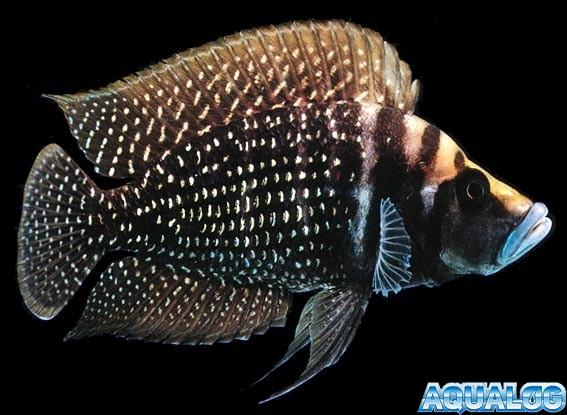 Альтолампрологус кальвус блек (Altolamprologus calvus black)
