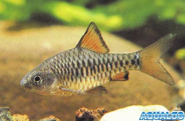 Барбус олиголепис или островной усач (Barbus oligolepis, Puntius oligolepis)