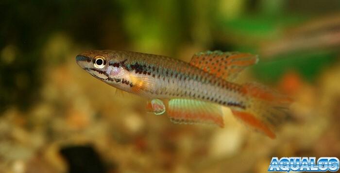 Афиоземион двухполосый (Aphyosemion bivittatum)