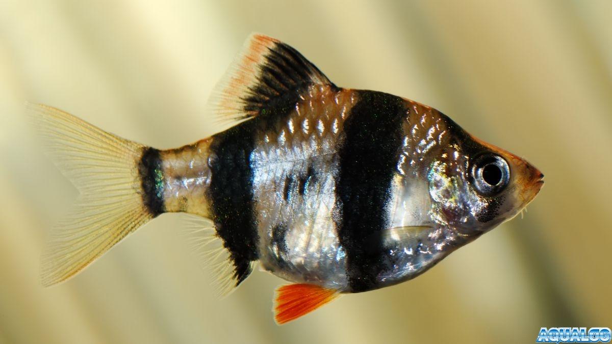 Барбус суматранский (Puntius tetrazona, Barbus tetrasona)