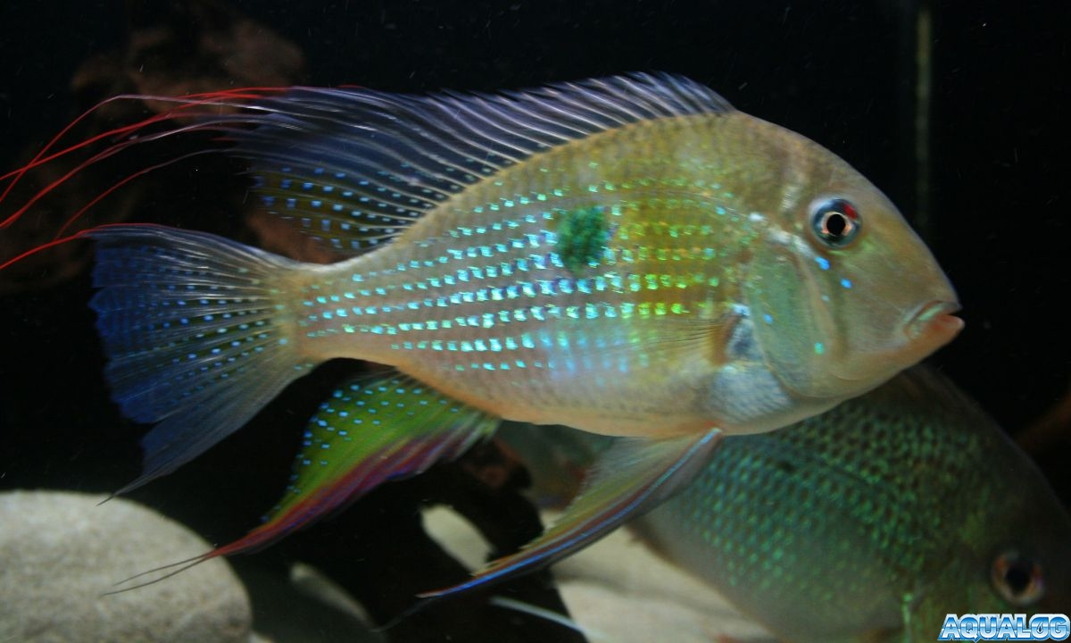 Акарихтис Хеккеля(Acarichthys heckelii)