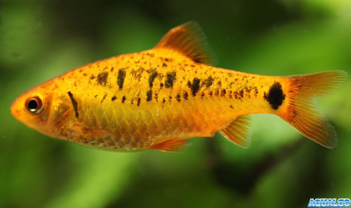Барбус Шуберта (Barbus semifasciolatus schuberti)