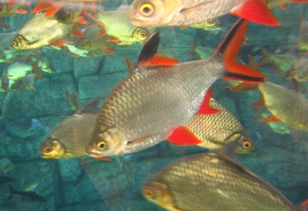 Барбус лещевый (Barbus schwanefeldi)