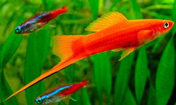Рыба-меченосец аквариумная