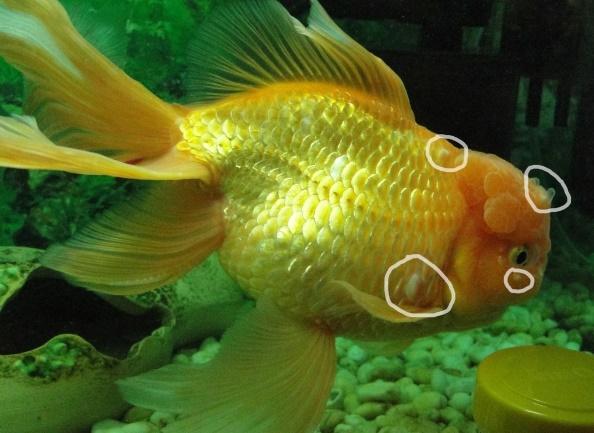Лечение водянки у аквариумных рыб