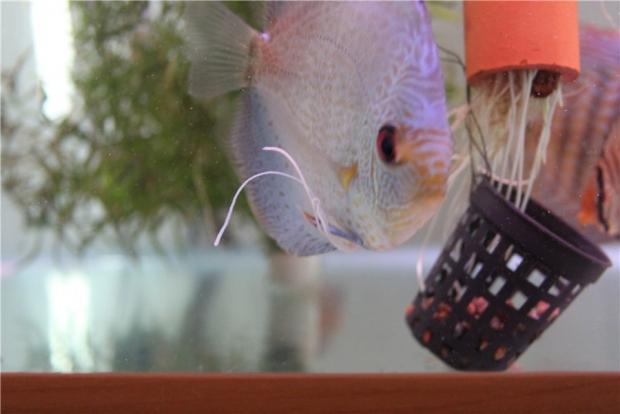 Глисты у аквариумных рыб