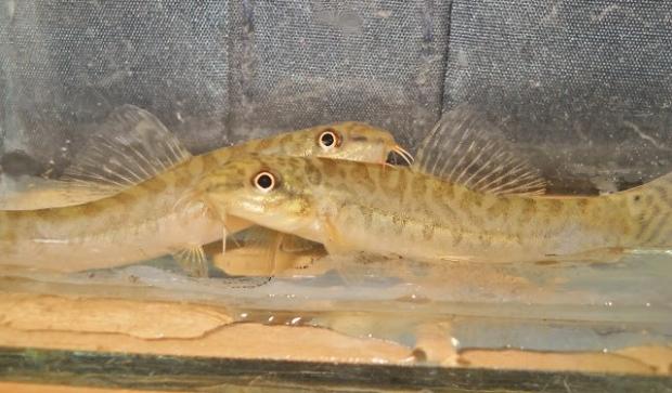 Акантокобитис боция (Acanthocobitis botia )