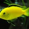 Labidochromis caeruleus 'yellow'