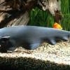 Рыба-нож аквариумная