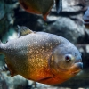 Пиранья аквариумная рыба