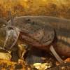 Вьюн обыкновенный (Misgurnus fossilis)