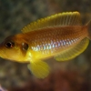 Lamprologus ocellatus 'gold'