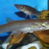 Белонесокс (Belonesox belizanus)