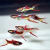 Гуппи Эндлера: аквариумная рыбка