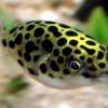 Рыба-шар аквариумная