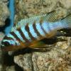 Metriaclima sp. 'zebra long pelvic'