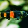 Брахигобиус ксантозона, бычок золотополосый (Brachygobius xanthozona)