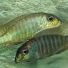 Lethrinops furcifer
