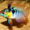 Рыба-бабочка аквариумная