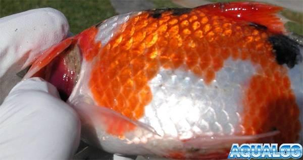 Красные жабры у аквариумных рыб