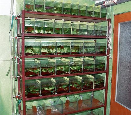 Разведение аквариумных рыб