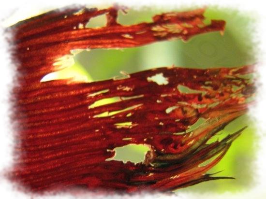 Гниль плавников аквариумных рыб
