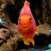 Рыба-попугай аквариумная: уход и содержание за красной рыбой-попугаем аквариумной
