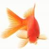 К чему снятся аквариумные рыбы