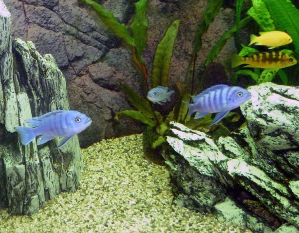 Цинотиляпия галлирея риф