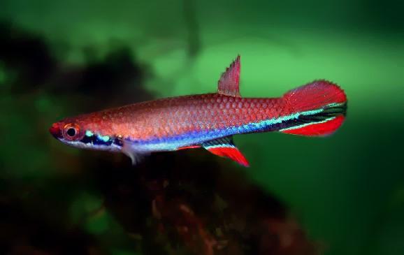 Ривулус синеполосый (Rivulus xiphidius)