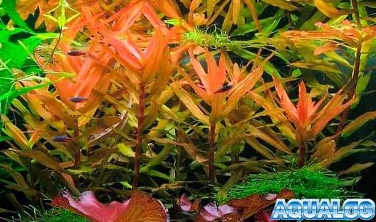 Аммания изящная (Ammania diffusa Hiern)