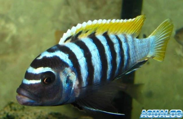 Cynotilapia afra 'Jalo Reef'